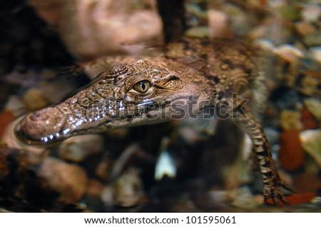 A Crocodile close up underwater. - stock photo