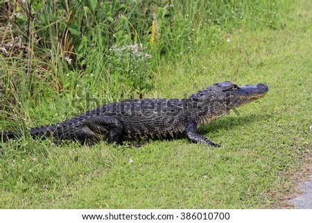 a crocodile in the Everglades National Park #386010700