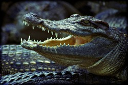 A crocodile lies on top of a group of crocodiles with its mouth open. Added lomography vintage fliter.