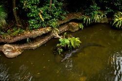 a crocodile lies under water in a river in the jungle