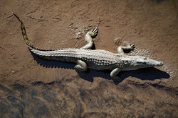 A crocodile lying on the shore of a river in Africa - aerial view.