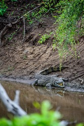 A crocodile resting and waiting for its pray at the shore of a river in Kruger National Park in South Africa.
