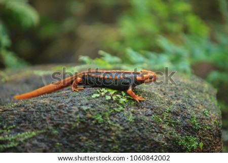 A Crocodile Salamander is on the rock. The crocodile salamander has been found on Doi Inthanon, the highest mountain in Thailand. Close-up, Green background. Lush moss and lichen.