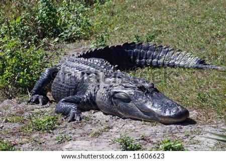 A crocodile suns himself by the side of a Florida pond