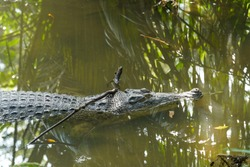 A crocodile were swam in the lake at Zoo Taiping, Perak, Malaysia.