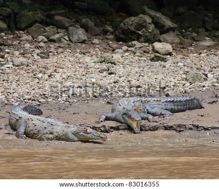 A crocodile with butterfly (Rio Grijalva, Sumidero), Mexico - stock photo