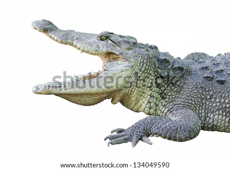a crocodile with open jaws isolated on white