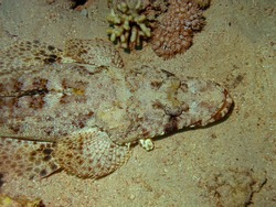 A Crocodilefish (Papilloculiceps longiceps) in the Red Sea