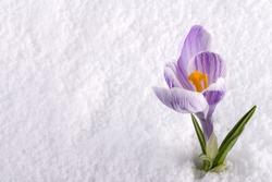 A crocus flower in the snow