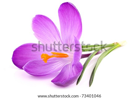 a crocus flowers on isolated white background