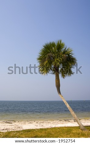 A crooked palm tree near the sands of a Florida beach