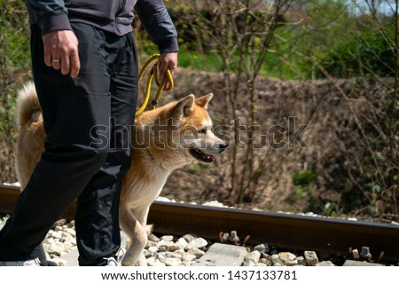 A cropped man is walking an orange akita dog on the yellow leash on the railroad. The orange akita dog has one paw up as it's making a step alongside the man, while looking forward. #1437133781