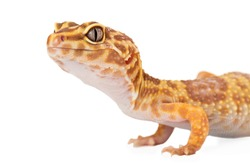 A cropped view of a yellow and orange spotted leopard gecko on white