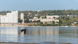 A crow flies over the water against the background of the banks of the Volga River and the city of Saratov