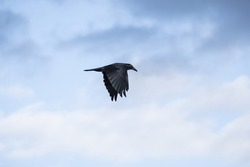 A crow in flight with sky and clouds in the background.