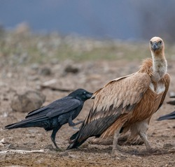 A crow pushing a griffon vulture away from the food