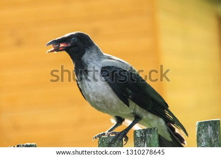 A crow sits on a fence with a nut in its beak. A crow sits on a fence with a nut in its beak. #1310278645