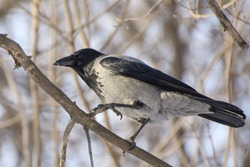 A crow sits on a tree branch. Frosty sunny day.