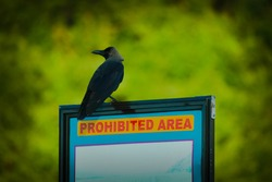A crow sitting on a probhited area board