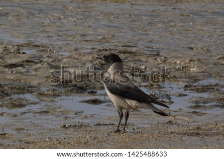 A crow standing in the mud #1425488633