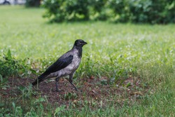 A crow walks on the grass in a city park. Photo of wild birds in summer on a warm summer day surrounded by greenery.