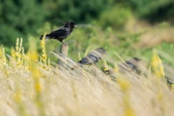 A crow with a fluffed head sits on a fence post in a row with other crows.
