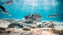 A crowd of Mediterranean fish eating on a rock. Underwater photography in the Sardinia backdrop. Fish eat a sea urchin.