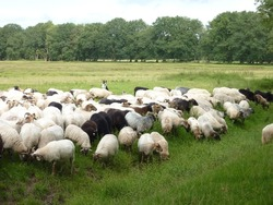 A crowd of sheep at the moor fields of a national park in the northern part of the Netherlands