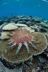 A Crown-of-thorns seastar (Acanthaster planci) feeds on live table coral polyps on a shallow reef near Fiji.  When population numbers are high these echinoderms can destroy reefs.