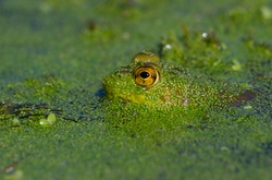 A cryptic green bullfrog covered in duckweed in a pond