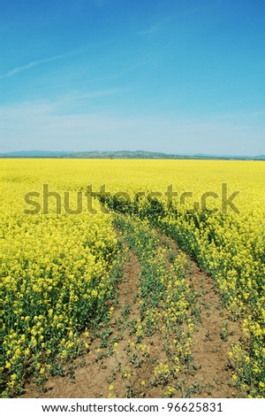 A cultivated rapeseed flower field in Romania.