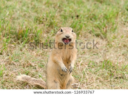 prairie dog screaming