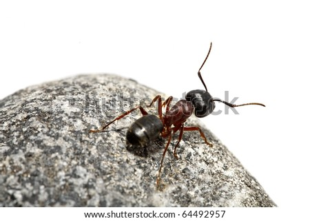 A curious ant on a rock, white background.