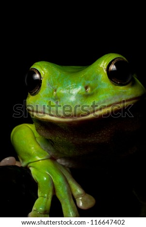 A curious Australian green tree frog look over a ledge on black.
