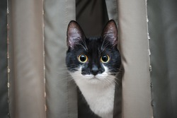 A curious cat looks out from behind the curtain. Round eyes stare intently.