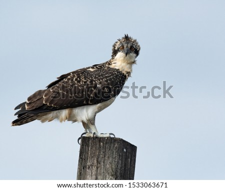 A curious fledgling Osprey perched on a wooden post.