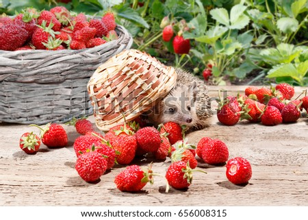 a curious hedgehog (Atelerix albiventris) turned over the basket of strawberries on a wooden board.  Full basket and bushes of strawberries on background