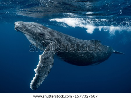 A curious Humpback whale calf in the emerald blue water of Tonga Foto stock ©