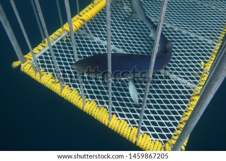 a curious juvenile blue shark, Prionace glauca, entering and exiting the cage, totally unharmed, of  Cape Point, South Africa, Atlantic Ocean; the nictitating membrane can be observed clearly #1459867205
