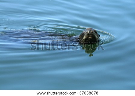 A curious, playful seal pokes it's head out of the water.