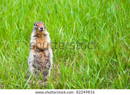 A curious prairie dog is watchful for enemies - Banff National Park, Alberta, Canada.