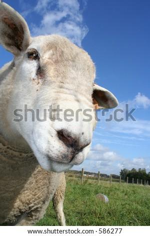 a curious sheep. Shallow DOf with focus on left eye