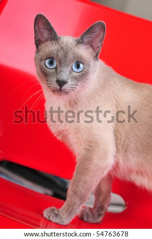 A curious siamese cat standing on a red chair.