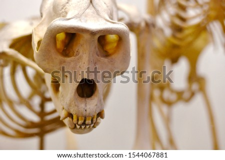 A curious, surprised monkey skull is large. Zdjęcia stock ©