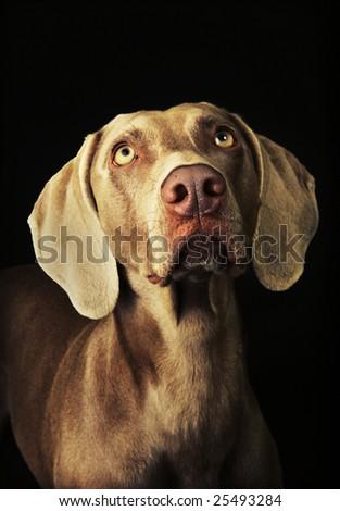 A curious Weimaraner dog