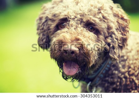A curly and brown haired dog portrait. The dog breed is Lagotto romagnolo which is also known as Italian waterdog. Image has a vintage effect applied.