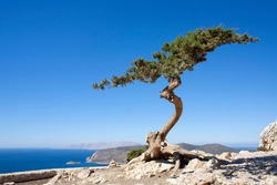 a curved cypress tree growing at the top of a cliff in Rhodes against a blue sky, the Mediterranean Sea visible below