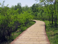 A curvy wooden boardwalk through lush grove with locust trees, grass and wooden fence, under blue sky with clouds in spring in Qinhuangdao, China