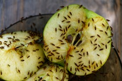 A cut apple has attracted fruit flies to feed on it