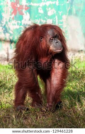A cute adult Orangutan